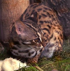 Kucing Hutan Sang Kucing Leopard Alamendah's Blog