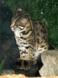 Kucing Hutan Sang Kucing Leopard Alamendah S Blog