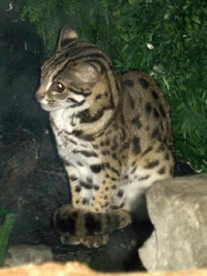 Kucing Congkok atau Kucing Hutan