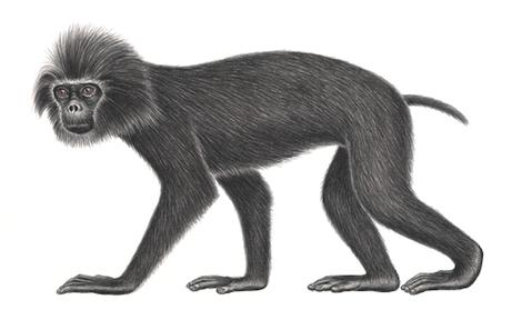 Monyet ekor babi