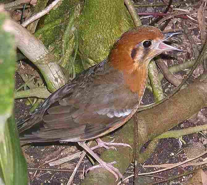 Burung anis merah fauna identitas kabupaten Sleman