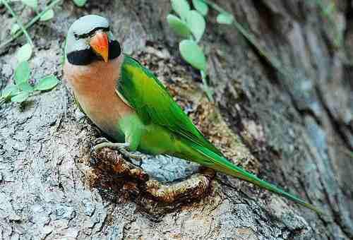Burung betet maskot kabupaten Blora