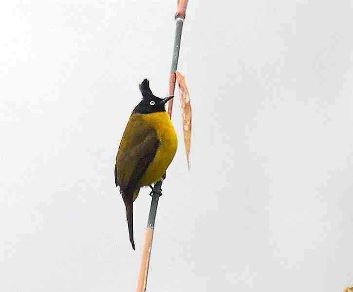 Burung kutilang emas flora identitas kabupaten Pekalongan