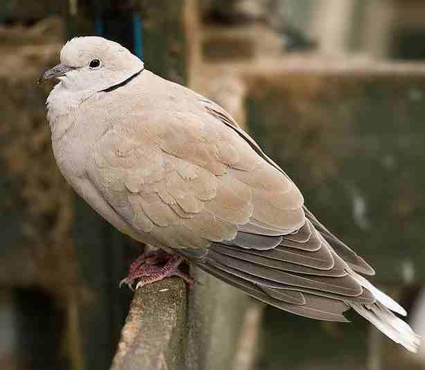 Burung puter geni maskot kabupaten Grobogan