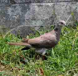 Burung dederuk jawa fauna identitas kabupaten Bantul