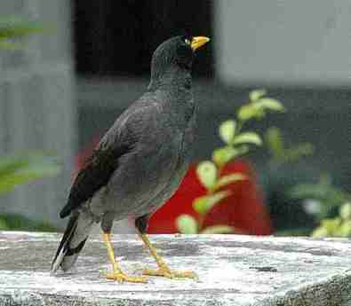 Jalak gading fauna identitas kabupaten Karanganyar