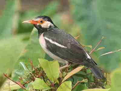 Burung Jalak suren (Sturnus contra)