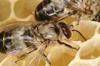 Lebah madu fauna identitas kabupaten Batang