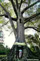 Pohon kepuh (Sterculia foetida)
