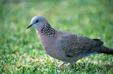 Burung tekukur fauna identitas kota Yogyakarta