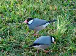 Gelatik atau Java Sparrow (Padda oryzivora)
