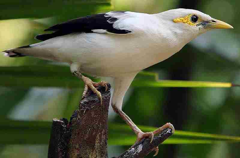 Jalak putih atau Black-winged Starling (Sturnus melanopterus)