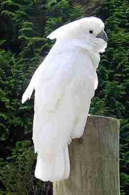kakatua putih (Cacatua alba) terancam punah