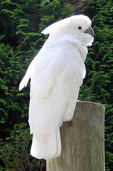 Kakatua putih (Cacatua alba) endemik Maluku Utara