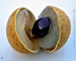 Klengkeng (Dimocarpus logan)