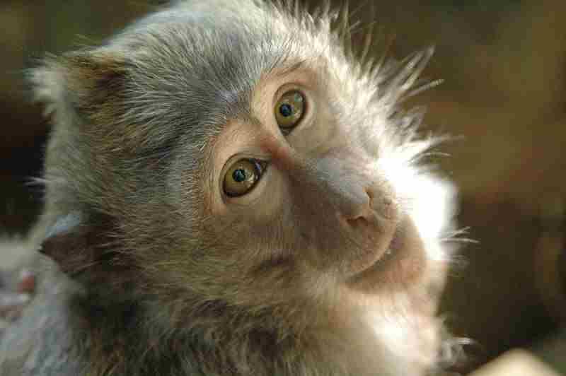 Monyet ekor panjang atau Long tail Macaque (Macaca fascicularis)