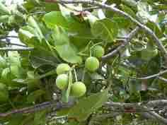 Nyamplung (Calophylum inophyllum)