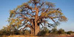 Pohon Baobab pohon raksasa