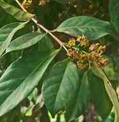 Salam (Syzygium polyanthum)