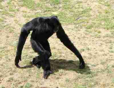 Siamang (Symphalangus syndactylus) saat berjalan