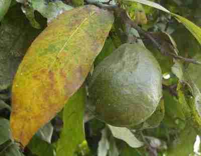 Buah gayam (Inocarpus fagiferus)