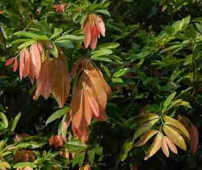 Daun pohon namnam (Cynometra cauliflora)