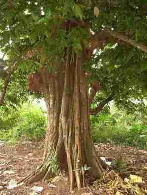 Pohon gayam (Inocarpus edulis)