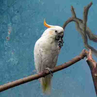 Kakatua Kecil Jambul Kuning nyaris punah akibat perdagangan ilegal