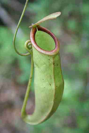 Nepenthes mirabis