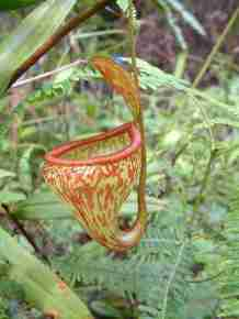 Nepenthes pitopangii