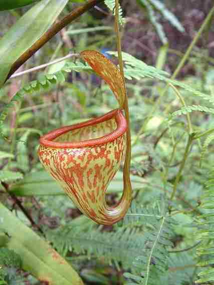 Nepenthes pitopangii