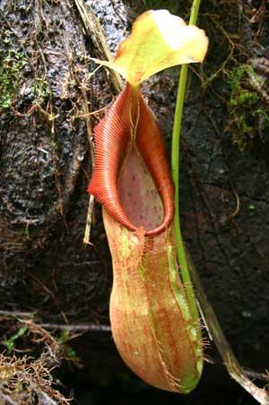 Nepenthes spathulata