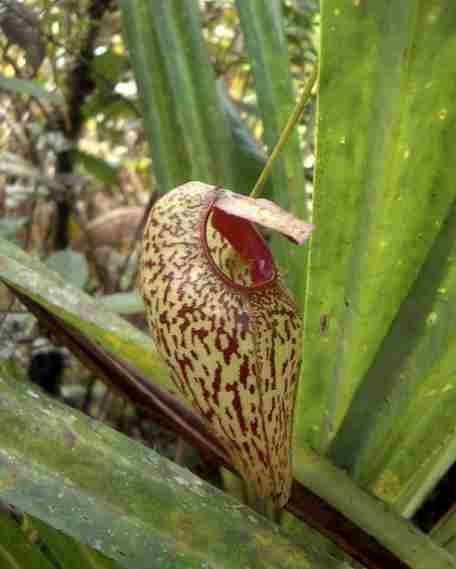 Tumbuhan Langka Indonesia yang Terancam Punah