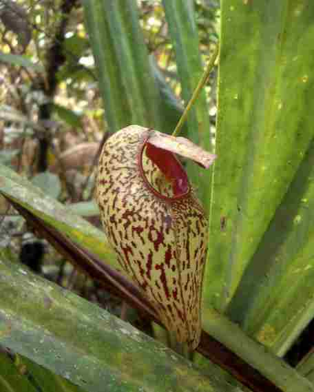 Nepenthes_aristolochioides