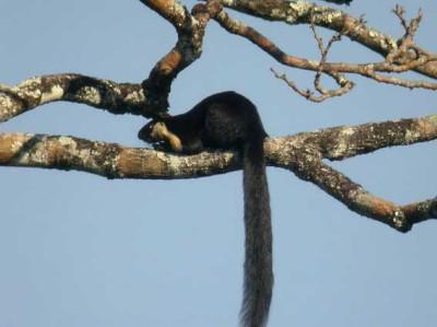 Jelarang (Ratufa bicolor) bajing raksasa