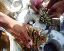 Pemasangan karang dalam transplantasi terumbu karang