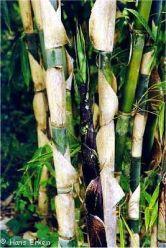 Bambu Apus (Gigantochloa apus)