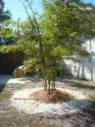 Bambu Kuning (Bambusa vulgaris)
