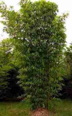 Bambu Legi (Gigantochloa atter)