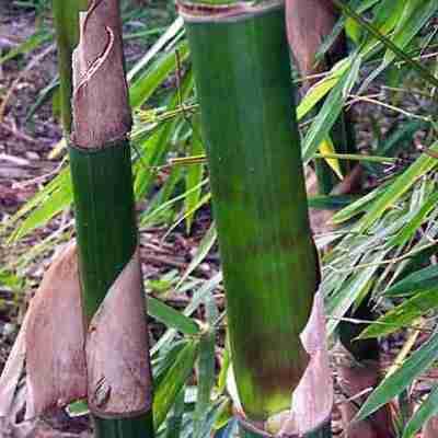 Bambu Tutul (Bambusa maculata)