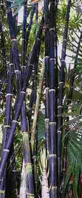 Bambu Wulung (Gigantochloa atroviolacea)