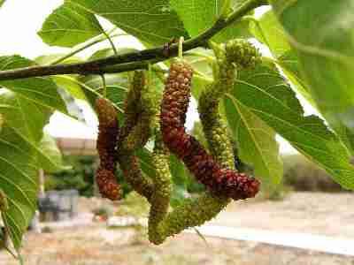 Buah dan daun pohon Andalas yang menyerupai Murbei