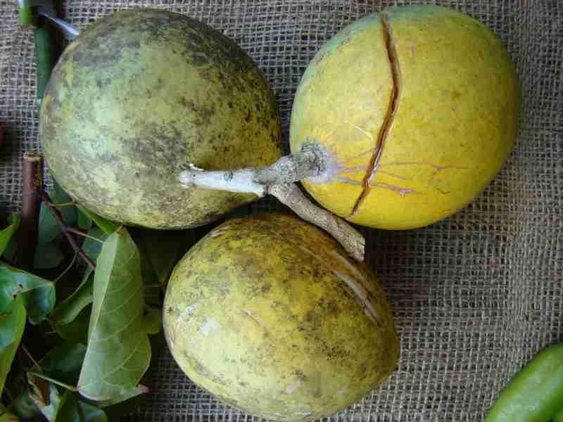 buah ini menjadi asal nama kerajaan majapahit good news
