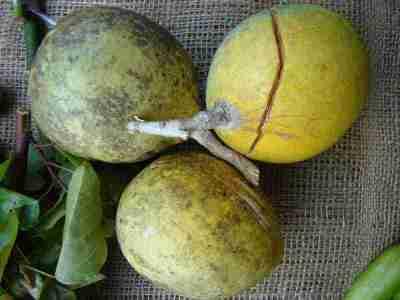 Buah maja (Aegle marmelos)