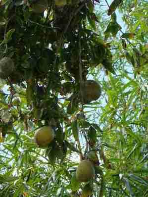 Buah maja (Aegle marmelos) di pohonnya