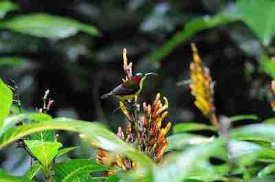 Burung Madu Sangihe (Aethopyga duyvenbodei)