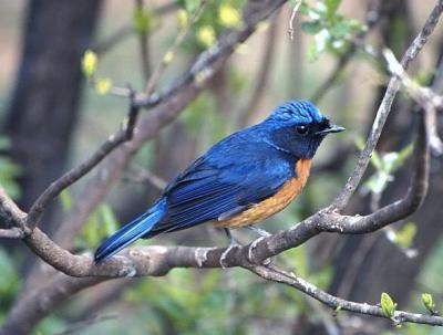 Burung Tledekan (Niltava sp)