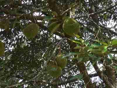 Durian atau Duren (Durio zibethinus) asal nama Tanjung Duren