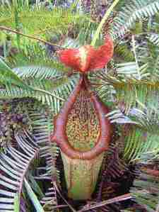 Nepenthes  insignis