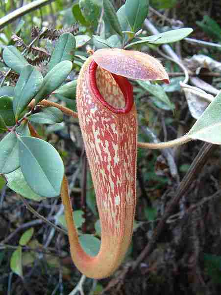 Nepenthes, Carnivorous Plant